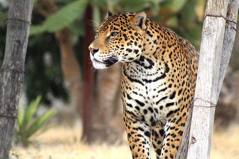 Dioses   Jaguares en l... Shakira